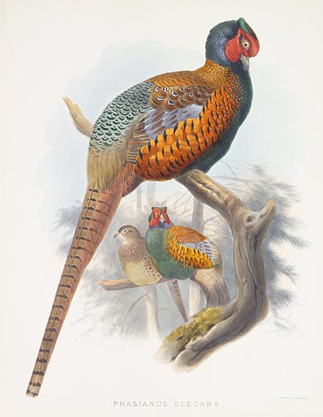 Phasianus Elegans, c.1870/72 | Joseph Wolf | Painting Reproduction