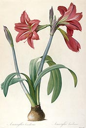 Amaryllis brasiliensis (Brazilian Amaryllis), 1816 by Pierre-Joseph Redouté | Painting Reproduction