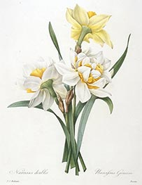 Narcissus gouani (Double Daffodil) | Pierre-Joseph Redouté | Painting Reproduction