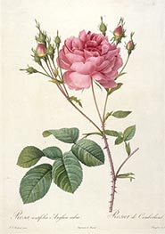 Rosa centifolia angelica rubra, c.1817/24 by Pierre-Joseph Redouté | Painting Reproduction