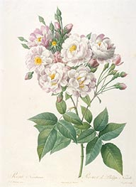Rosa noisettiana | Pierre-Joseph Redouté | Painting Reproduction