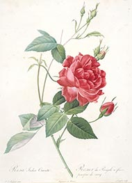 Rosa indica cruenta | Pierre-Joseph Redouté | Painting Reproduction