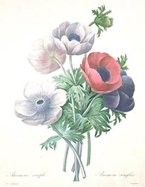 Anemone simple | Pierre-Joseph Redouté | Painting Reproduction
