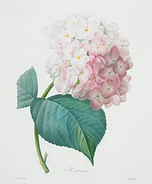 Hortensia, 1827 by Pierre-Joseph Redouté | Painting Reproduction