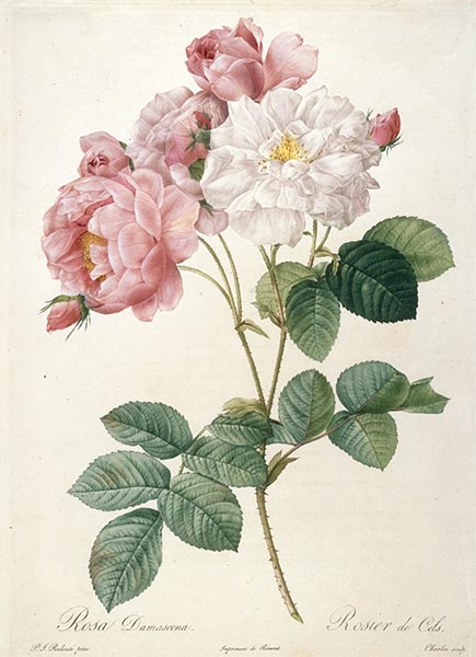 Rosier de Cels, c.1817/24 | Pierre-Joseph Redouté | Painting Reproduction