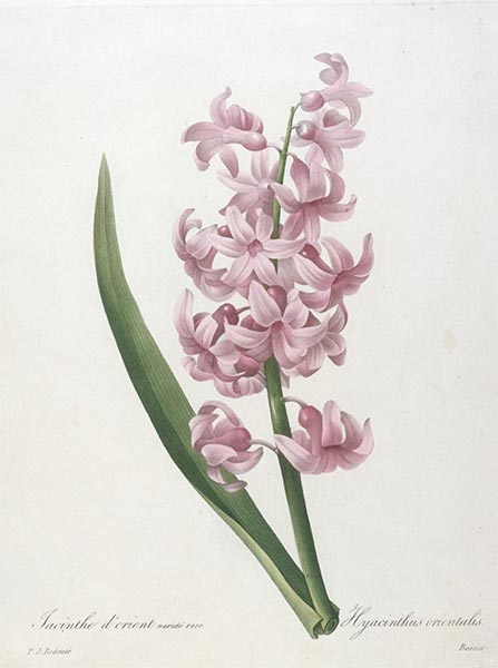 Jacinthe d'orient, rose (Hyacinth), 1827 | Pierre-Joseph Redouté | Painting Reproduction