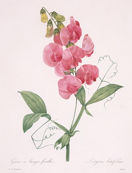 Lathyrus latifolius (Everlasting Pea), 1827 | Pierre-Joseph Redouté | Painting Reproduction