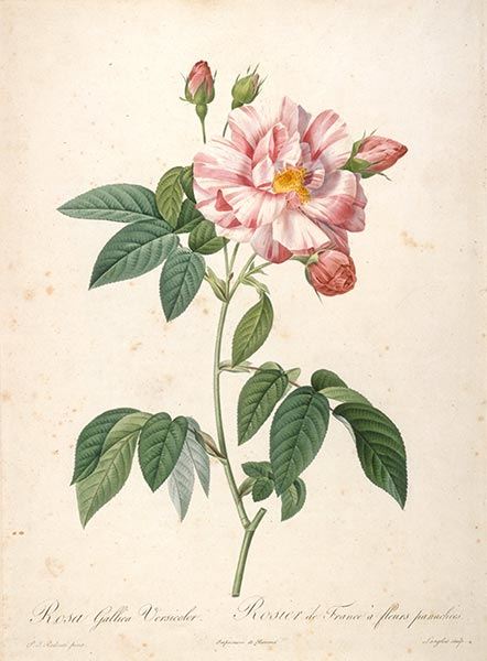 Rosier de France a fleurs panachees, c.1817/24 | Pierre-Joseph Redouté | Painting Reproduction